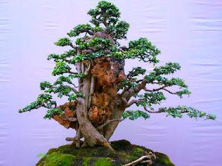 penyebab-daun-bonsai-berguguran.jpg