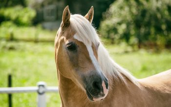 Wallpaper: Haflinger Horse Breed