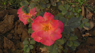 Rose Flower in National Rose Garden Delhi 2073