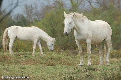 Cavalls de la Camarga