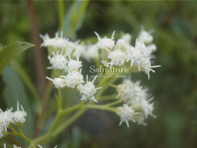 Baccharis salicifolia  Chilca