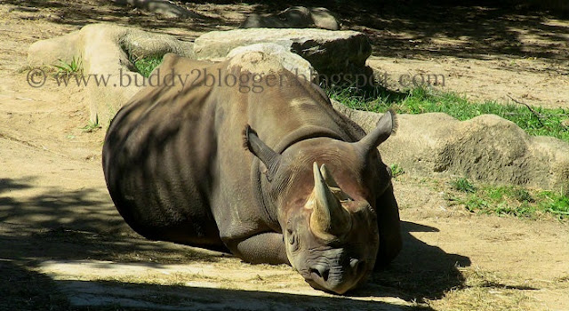 Black Rhinoceros - Diceros bicornis - Endangered African species - Cincinnati Zoo and Botanical Garden