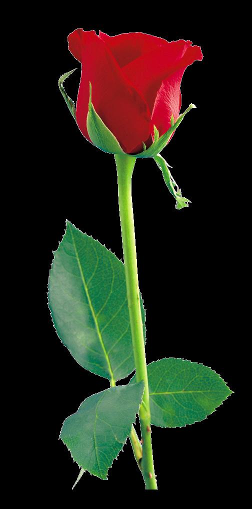 Red Rose Png Hd - Shan Studio-5987
