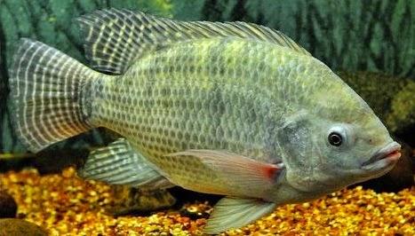 Metode pembibitan menghasilkan 100 persen ikan betina