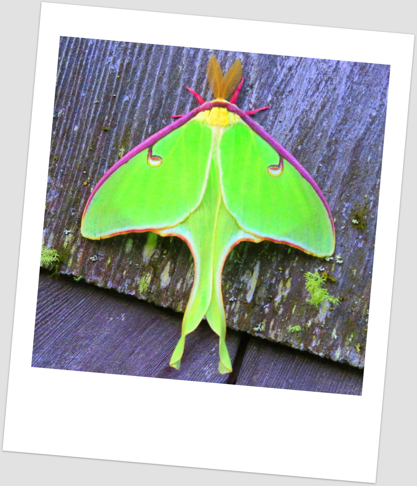 Maynard life outdoors and hidden history of maynard luna moth color saturated photo of luna moth buycottarizona
