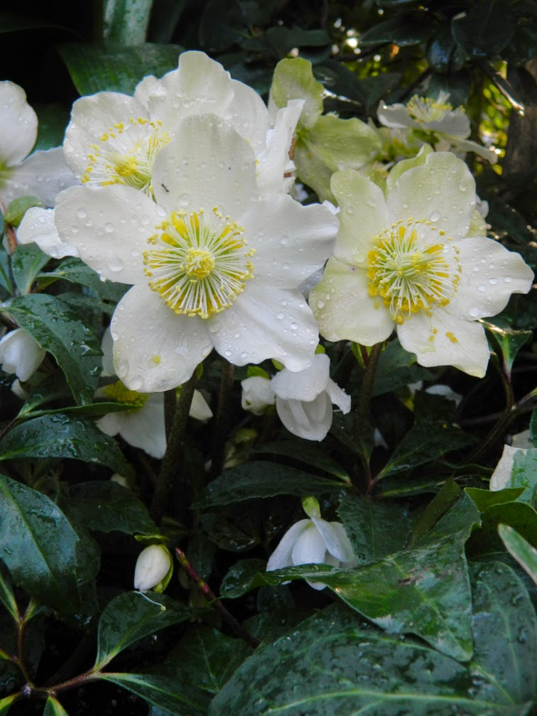 Helleborus niger Jacob Christmas Rose Allan Gardens Conservatory Christmas Flower Show 2014 by garden muses-not another Toronto gardening blog