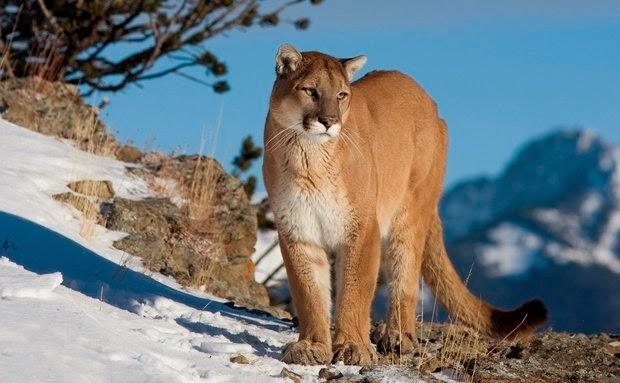 Puma-concolor-leão-da-montanha