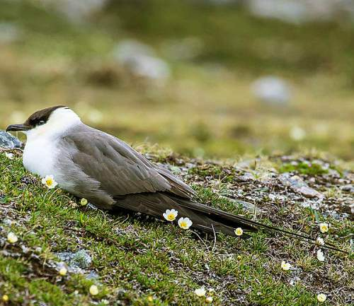 Birds of India - Photo of  of Long-tailed jaeger - Stercorarius longicaudus