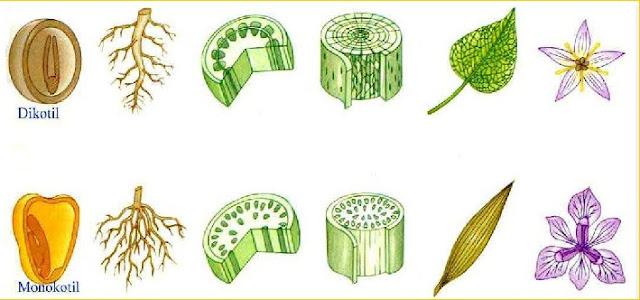 Jenis dan Ciri Tumbuhan Monokotil dan Dikotil
