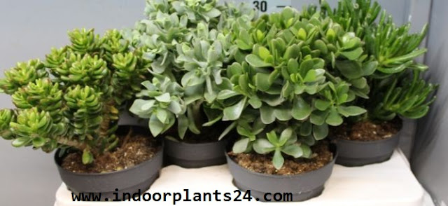 Jade plant Crassulaceae indoor plant picture potted collection