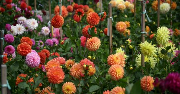 How To Grow Dahlias From Seed Garden