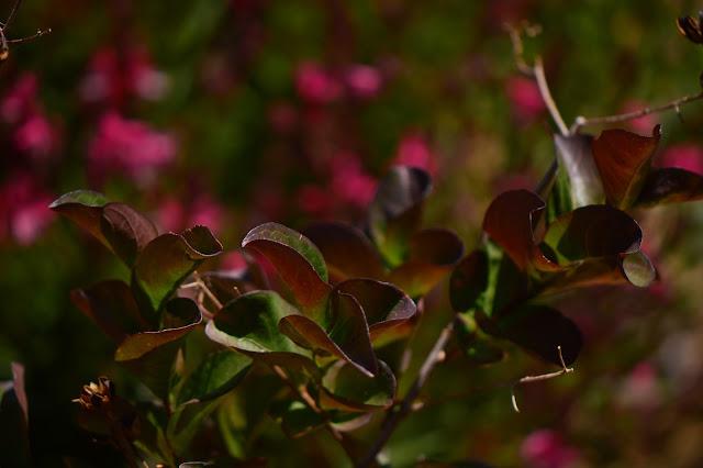 Lagerstroemia indica, small sunny garden, desert garden, crape myrtle, garden bloggers foliage day, foliage, dynamite