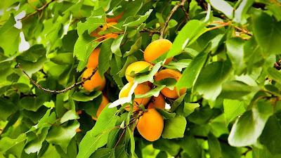 gambar pohon aprikot