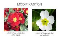 Isı etkisiyle renk değiştirmiş çuha çiçekleri