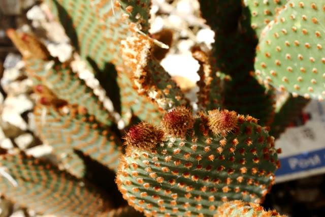 A close-up image of Opuntia microdasys variety rufida. Commonly named red polka-dot cactus