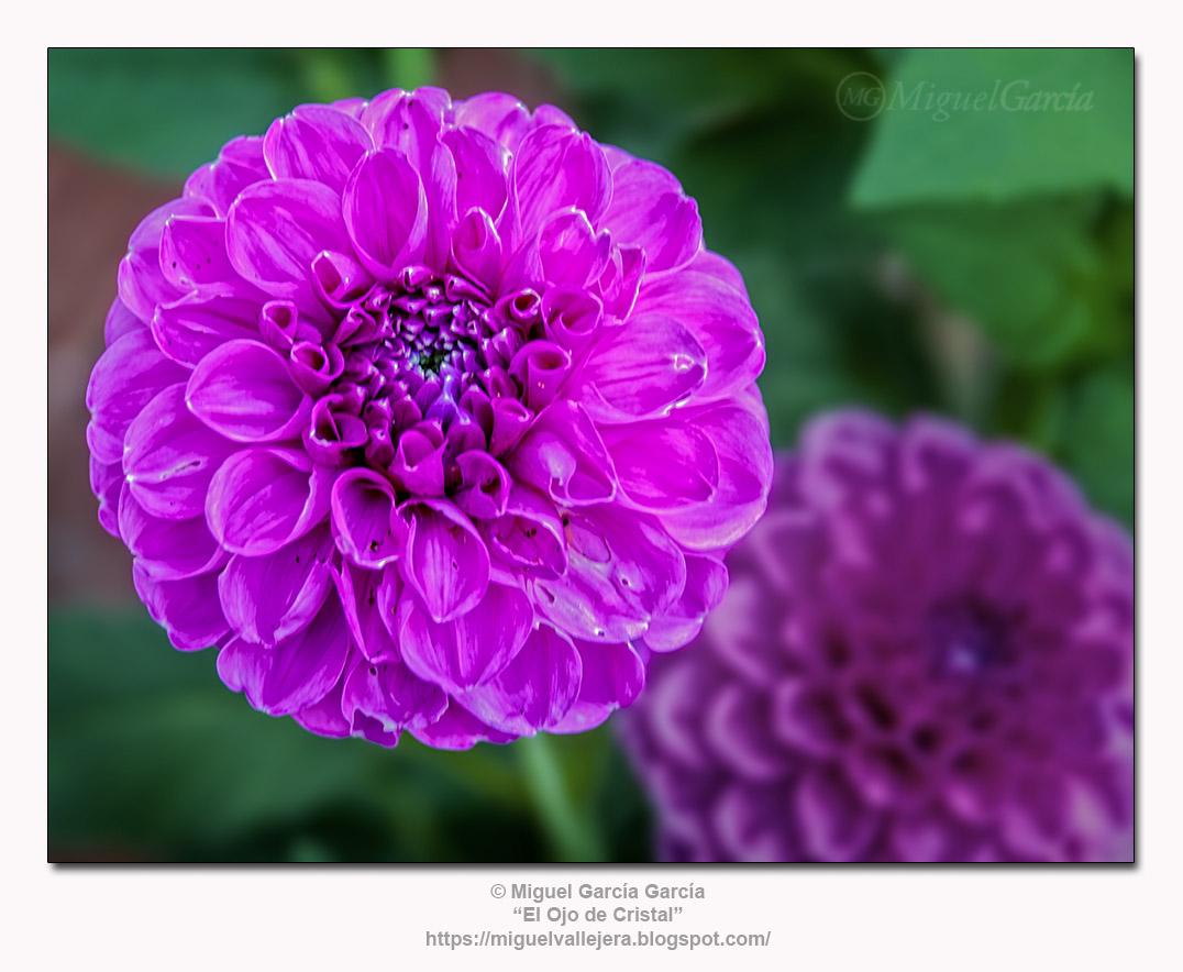 Flores de los Caminos.- Dalia o Dahlia.
