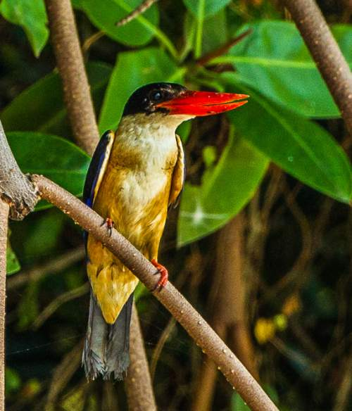 Indian birds - Image of Black-capped kingfisher - Halcyon pileata