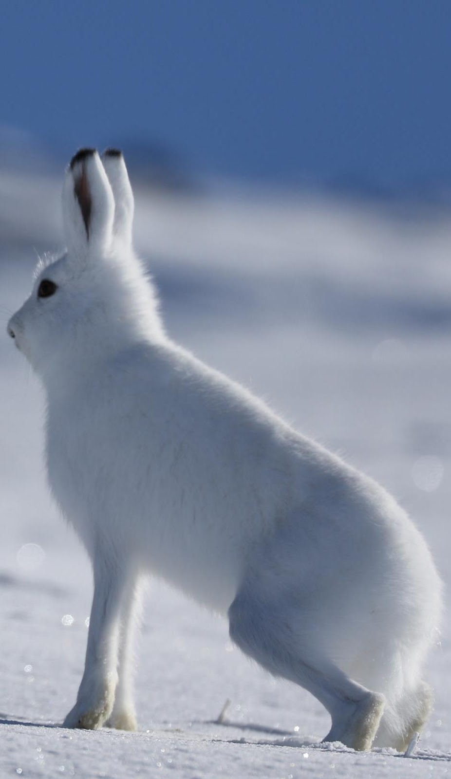 An arctic hare walking on snow.