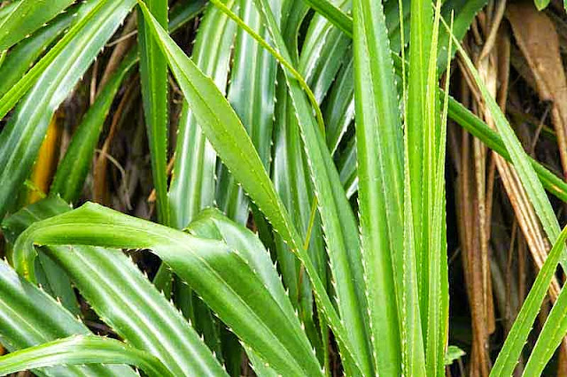 green and brown spiny leaves