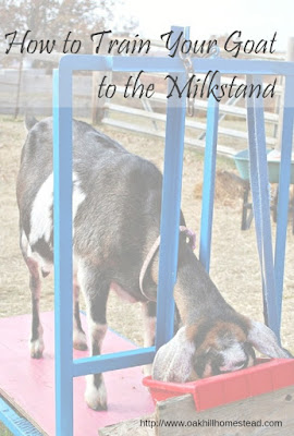 How to teach your goat to the milkstand; tips for training a problem doe.