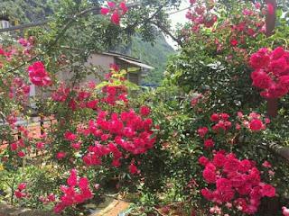 hoa hồng tầm xuân thân gỗ