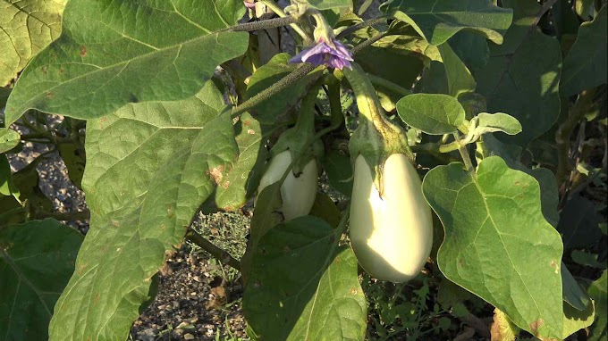 Solanum Melongena Var. White