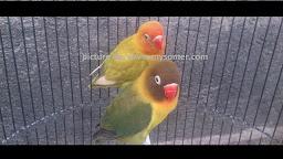 Cara ampuh menurunkan birahi lovebird betina dewasa Cara membuat Drop Birahi Lovebird fighter betina dewasa