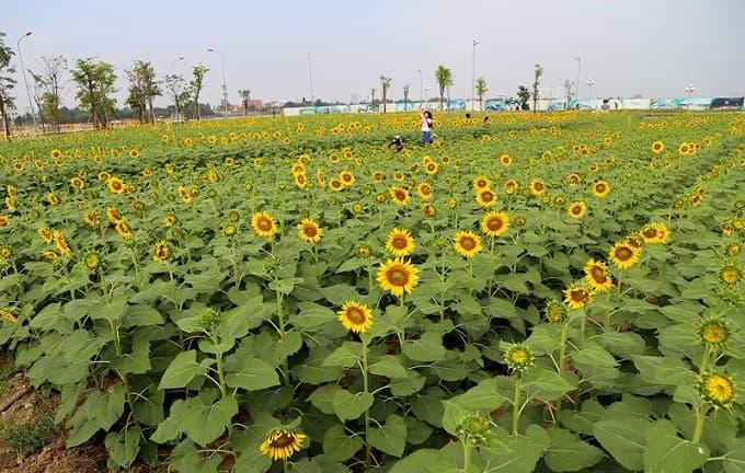 Kết quả hình ảnh cho cánh đồng hoa hướng dương thủ đức