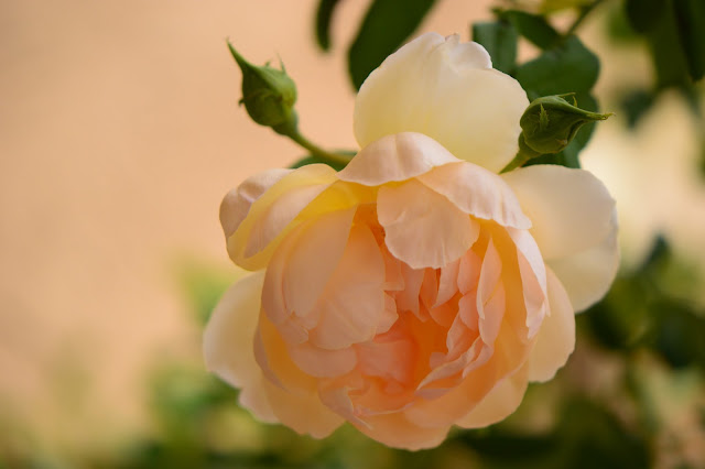 rose wollerton old hall, david austin roses, small sunny garden, desert garden, amy myers