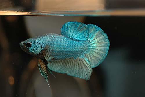 Jenis Jenis Ikan Cupang Cupang Alam Cupang Aduan Dan Cupang Hias Spesies Bentuk Ekor Dan Warna