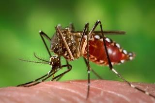 fotos mosquito dengue