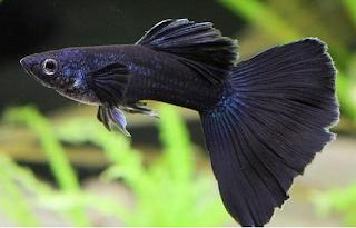 semakin hari semakin banyak Peminatnya dan keindahan akan ikan guppy baik  Kabar Terbaru- JENIS IKAN GUPPY LOKAL