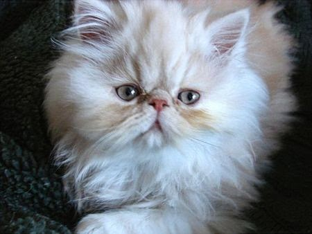 gato-himalayo-raza-caracteisticas