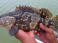 Populasi Ikan Kerapu Yang kian Menurun