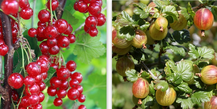 Ideale Nutzpflanzen für Landhausgärten