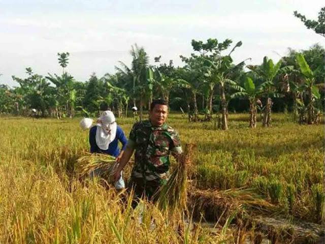 Babinsa Koramil 05/Tanjung Tiram Dampingi Petani Panen di Desa Mekar Mulio