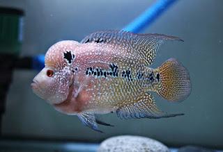 Jenis Ikan Louhan Kamfa