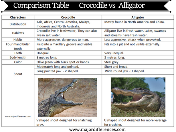 a comparison between the alligators and crocodiles