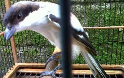 Cara Akurat Membedakan Burung Cendet Madura Dan Cendet Jawa