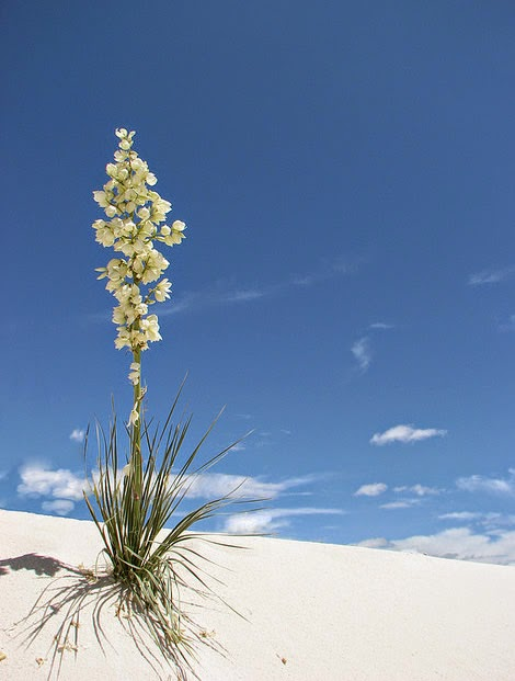 Lonely yucca grows in the dessert