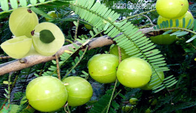 Indian gooseberry fruit,আমলকী