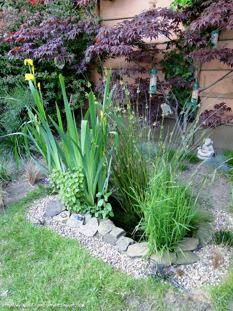 My wildlife pond project blog blooming 5 06 2016 for Winter pond plants