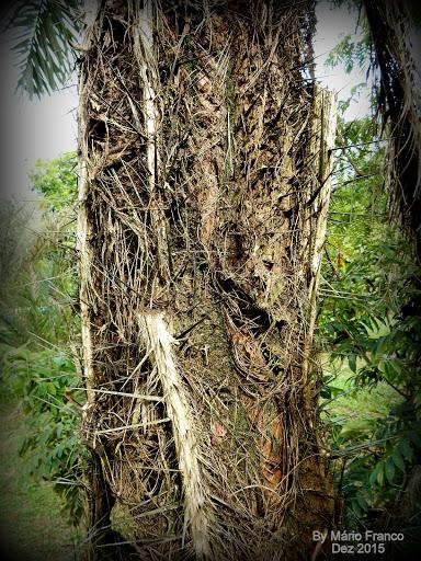 caule Acrocomia aculeata