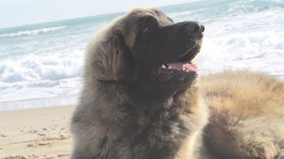 Pasión perro leonberger