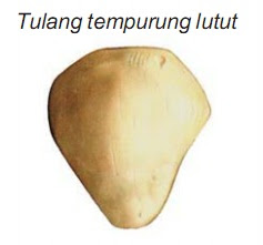 Bentuk-bentuk Tulang Rangka Manusia : Pipih, Pendek, dan Pipa