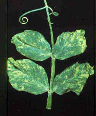 Gambar Pertumbuhan Tanaman Terung Laporan Penelitian Perkembangan Tanaman Terong Secara Gambar Tanaman Kacang Yang Terserang Virus