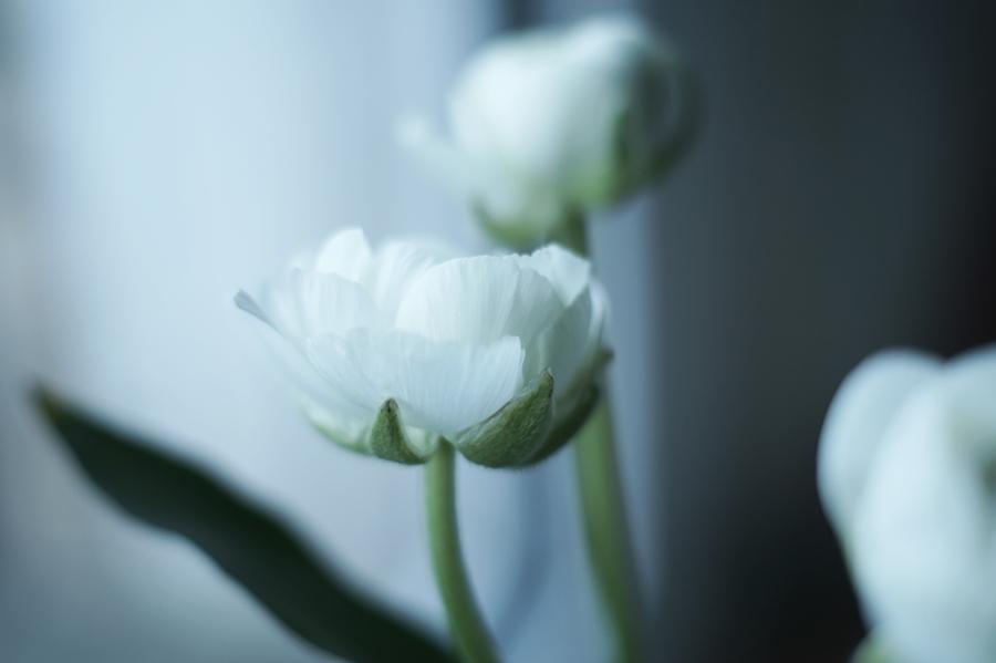 Blog + Fotografie by it's me! - Wohnen - Blüten einer weißen Ranunkel