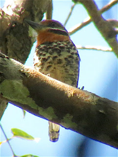 Spotted Puffbirds