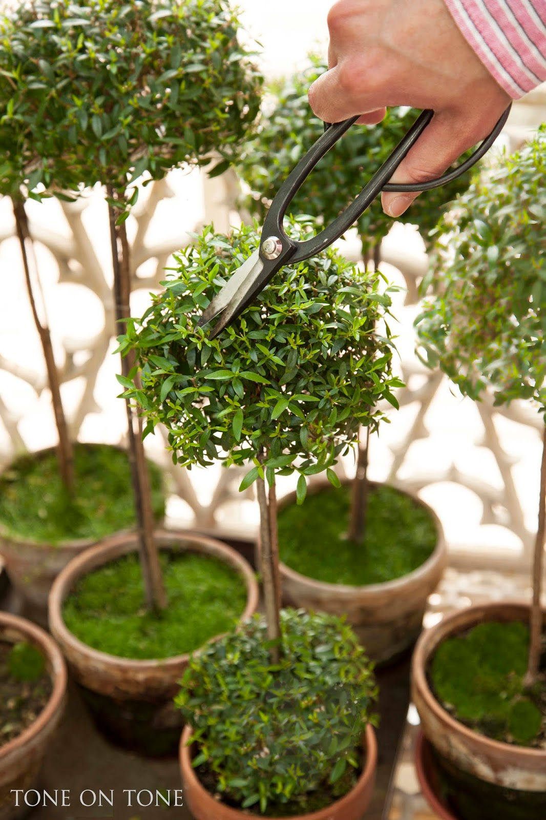 All About Myrtle Topiaries