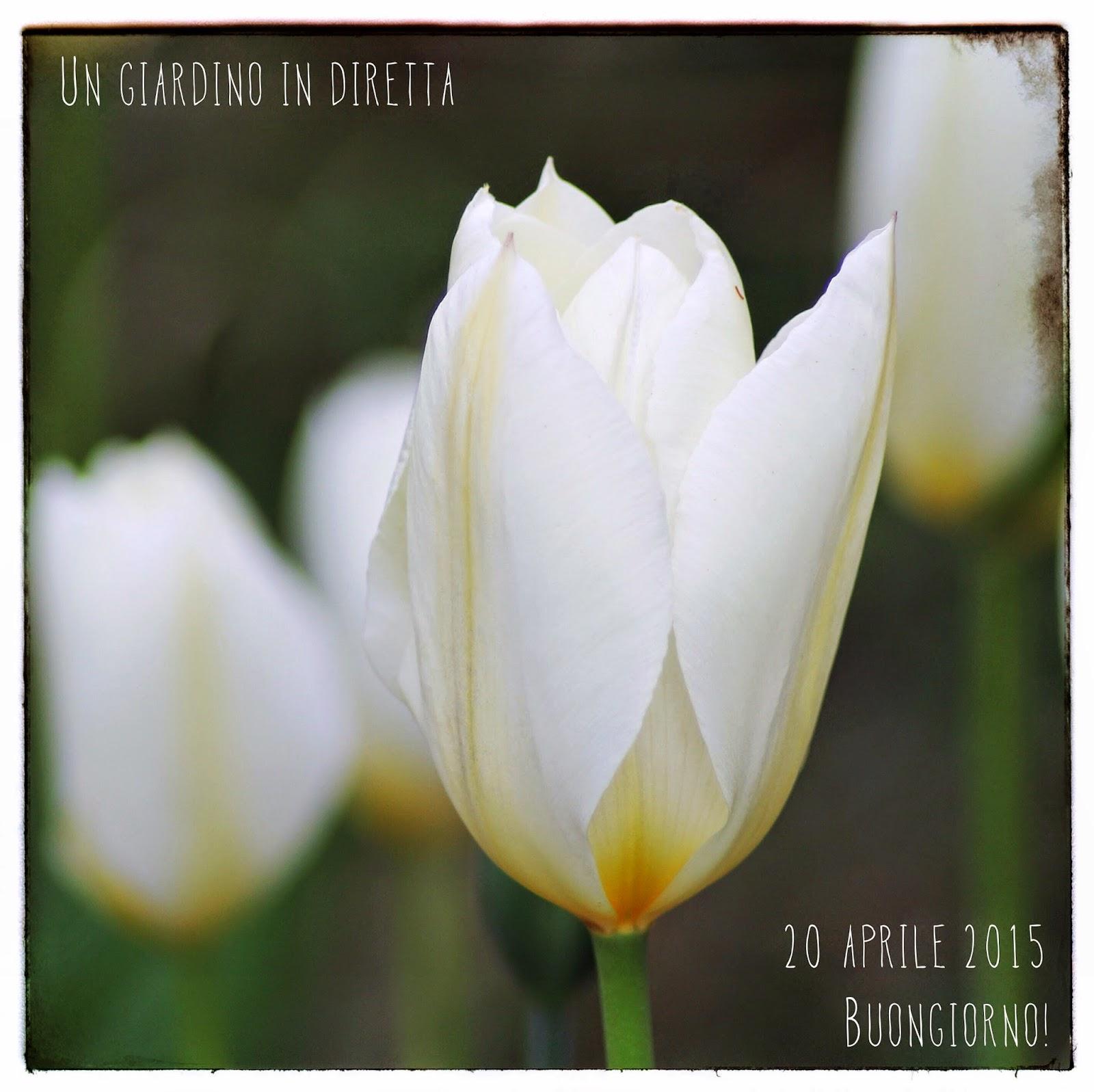Fiori Bianchi Aprile.Tulipani Bianchi Buongiorno Giardinieri Un Giardino In Diretta